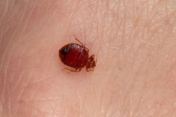 Also known as climex lectularius, bedbugs live and lay eggs in the corners of walls and folds of furniture. They are commonly found in hotels, shelters and apartment buildings and can spread to homes by attaching to luggage or clothing.