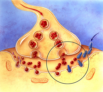 Inhibiting cholinesterase (blue) can make more acetylcholine available to neurons in the brain.