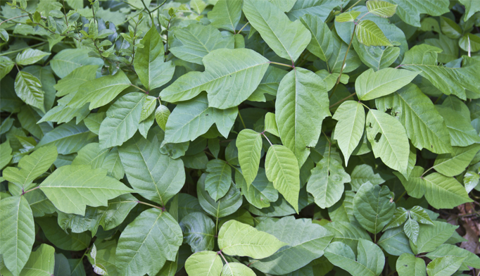 poison ivy oak and sumac treatment tips
